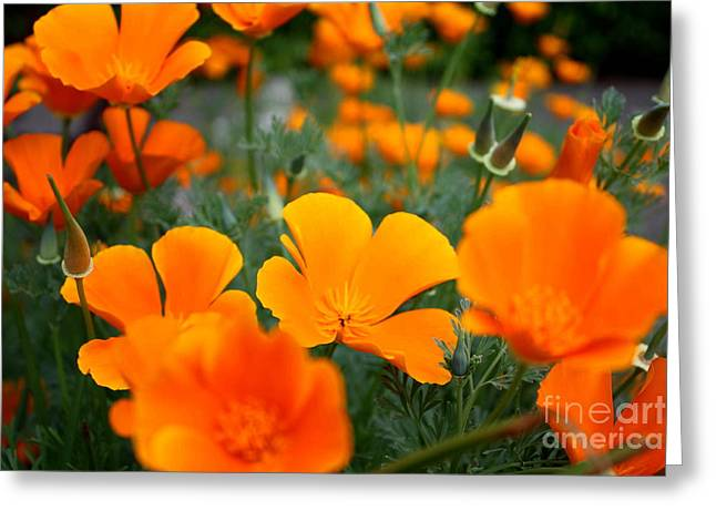 Greeting Card featuring the photograph Poppies by Edward R Wisell