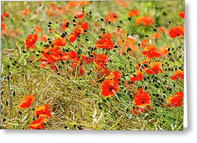 Poppies Growing Amongst Oil Seed Rape Greeting Card