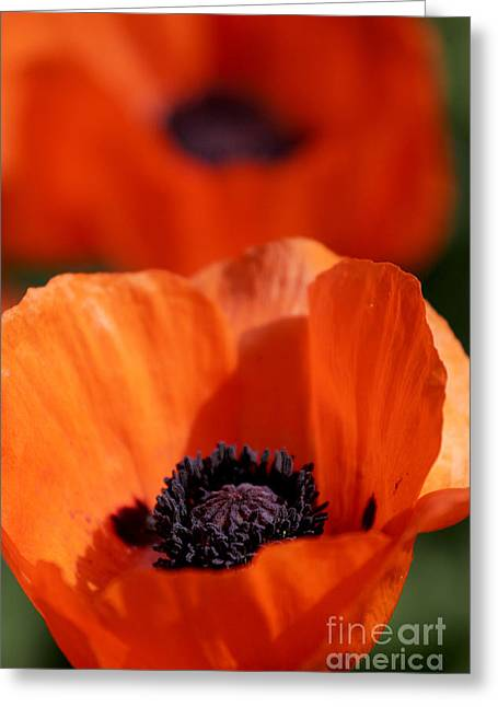 Greeting Card featuring the photograph Poppies In Sunlight by Lincoln Rogers