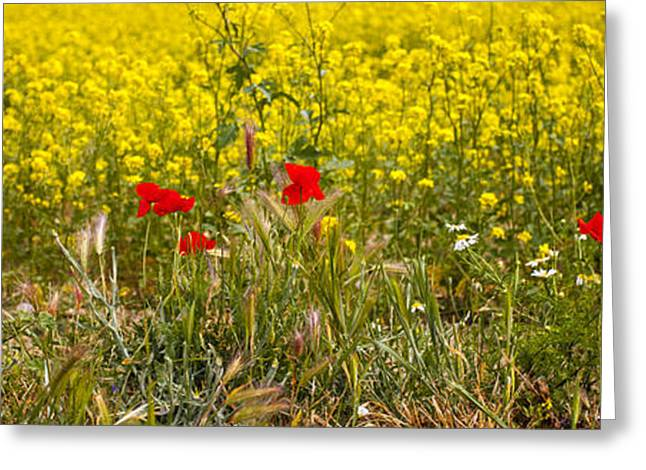 Poppies In Yellow Field Greeting Card