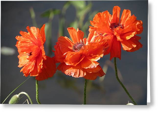 Greeting Card featuring the photograph Poppies by Rebecca Overton