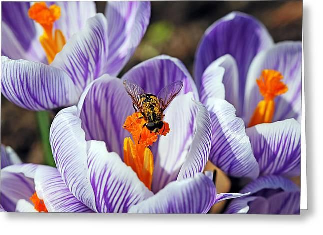 Popping Spring Crocus Greeting Card by Debbie Oppermann