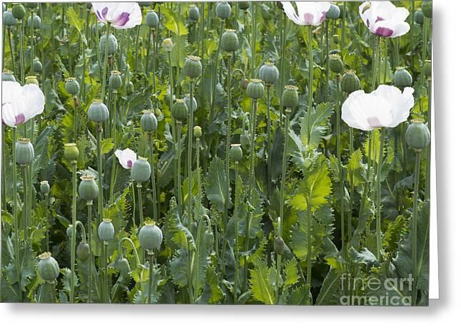 Poppy Field Greeting Card by Michal Boubin