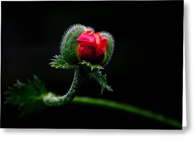 Poppy Flower Greeting Card by Mikhail Pankov