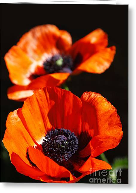 Poppy Flower Pair Greeting Card