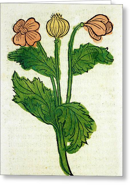 Poppy Flowers Greeting Card by National Library Of Medicine