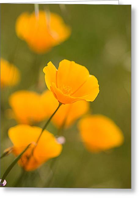 Greeting Card featuring the photograph Poppy I by Ronda Kimbrow