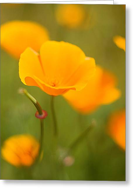 Greeting Card featuring the photograph Poppy II by Ronda Kimbrow
