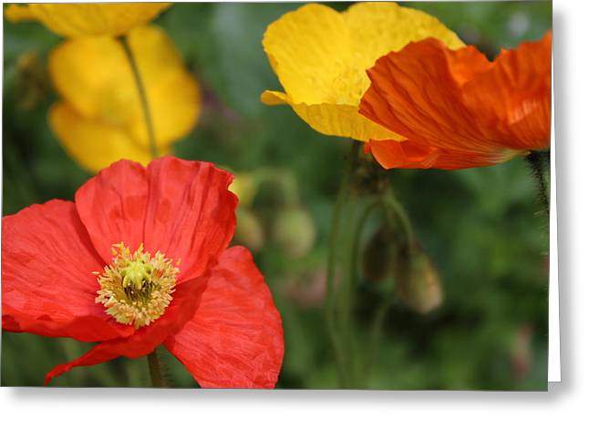 Poppy Iv Greeting Card