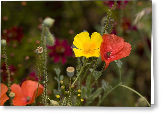 Greeting Card featuring the photograph Poppy Love by Mark Greenberg