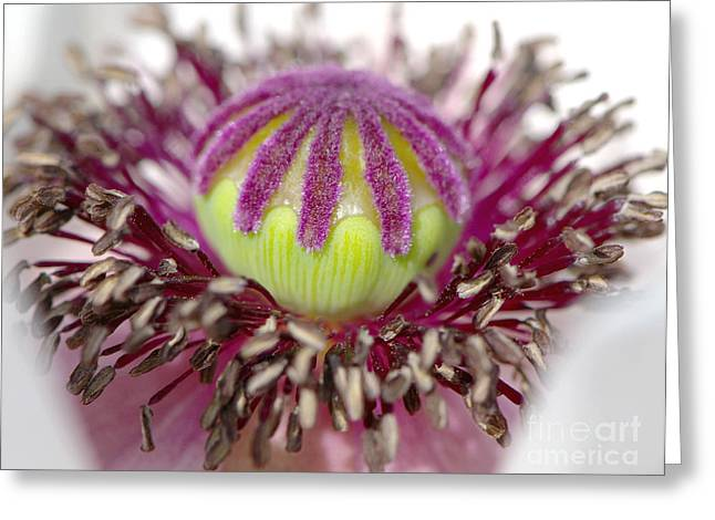 Poppy Macro 2 Greeting Card by Sharon Talson