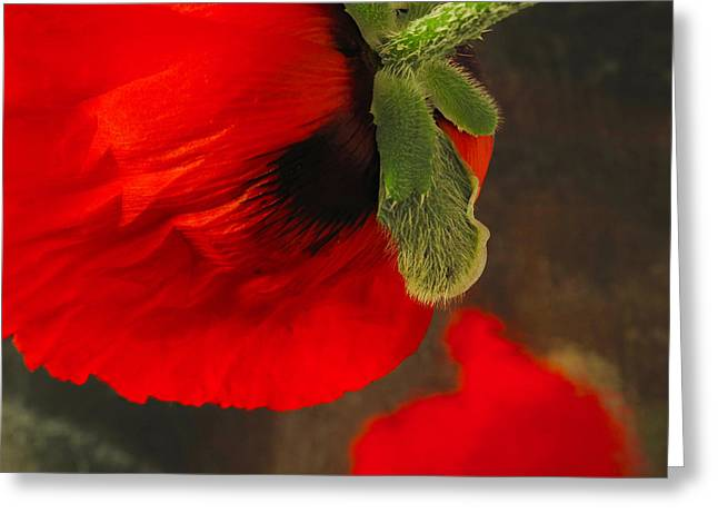 Poppy Oriental Red Greeting Card by Don Spenner