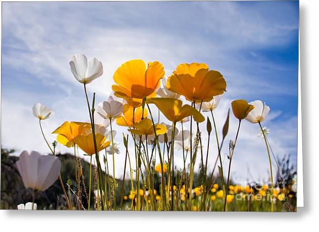 Poppy Parade Greeting Card