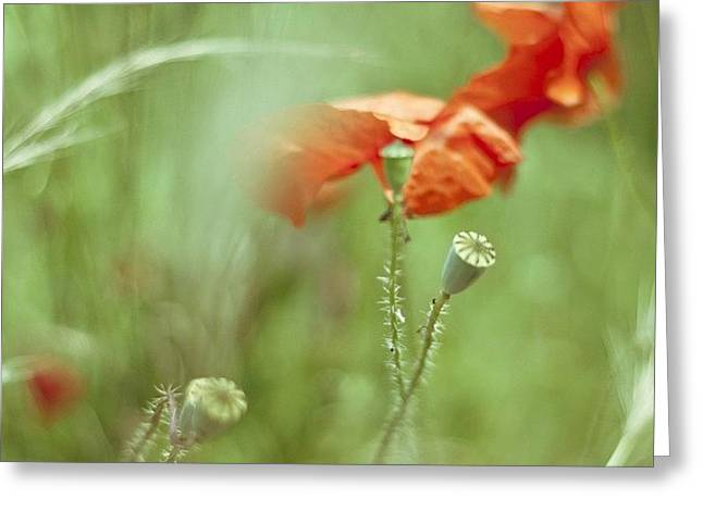 #poppy #poppies #red #green Greeting Card