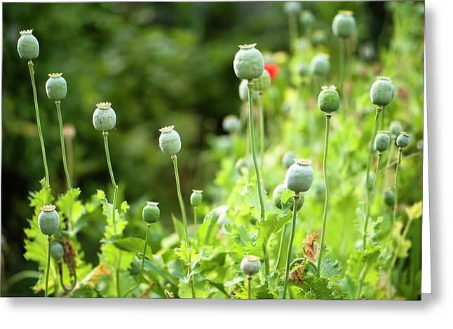 Poppy Seedheads Greeting Card
