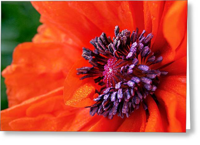 Poppy's Purple Passion Greeting Card