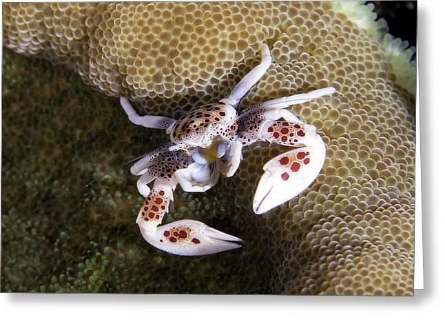 Porcelain Crab Greeting Card by Paula Marie deBaleau