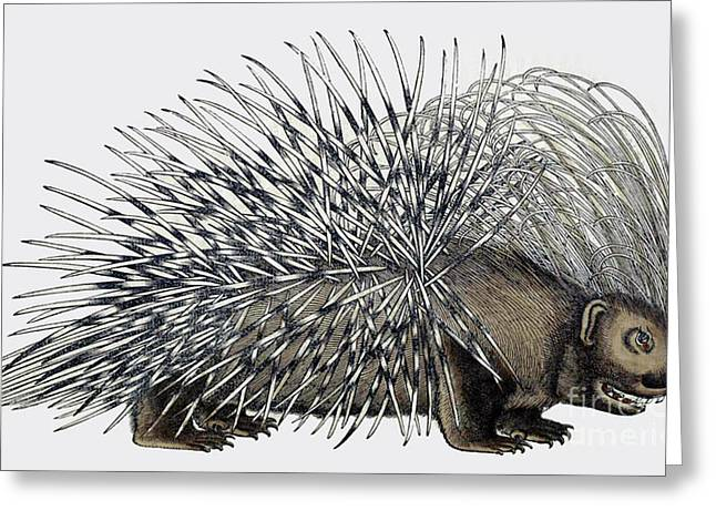 Porcupine, Historiae Animalium, 16th Greeting Card by Science Source