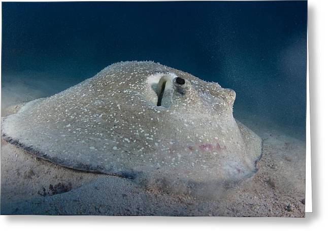 Porcupine Ray Feeding On Seabed Greeting Card