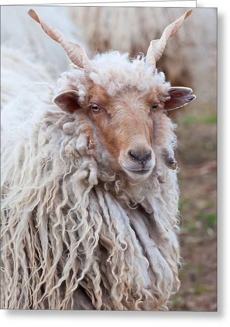 Portait Of A Sheep Greeting Card by Beth Wolff