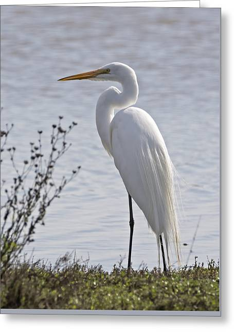 Portrail Of An Egret Greeting Card