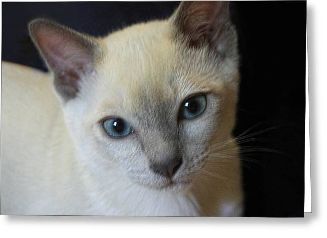 Portrait Blue Eyed Kitten Greeting Card by Linda Phelps