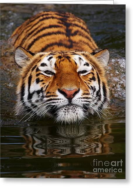Portrait Of A Bathing Siberian Tiger Greeting Card
