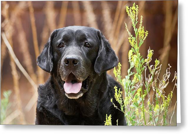 Portrait Of A Black Labrador Retriever Greeting Card by Zandria Muench Beraldo