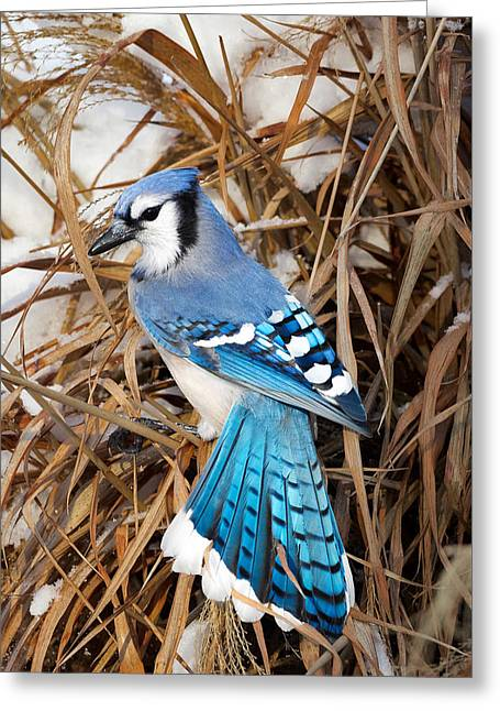 Portrait Of A Blue Jay Greeting Card by Bill Wakeley