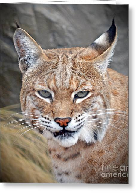 Portrait Of A Bobcat Greeting Card by Jim Fitzpatrick