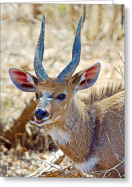 Portrait Of A Bushbuck In Kruger National Park-south Africa  Greeting Card