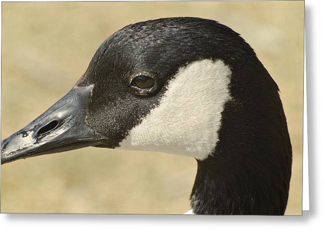 Portrait Of A Canadian Goose  Greeting Card by Saija  Lehtonen