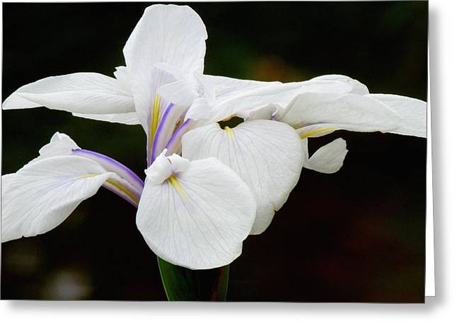 Portrait Of A Canna Greeting Card