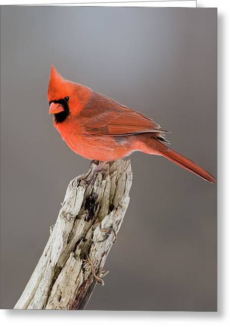 Portrait Of A Cardinal Greeting Card by Timothy McIntyre