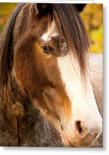 Portrait Of A Clydesdale Greeting Card