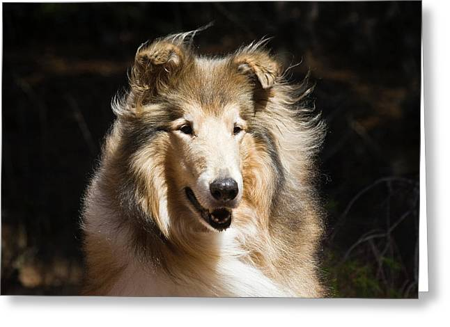 Portrait Of A Collie With Dark Greeting Card