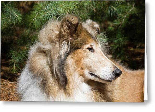 Portrait Of A Collie Greeting Card