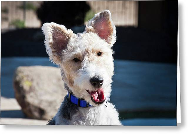 Portrait Of A Fox Terrier Puppy Sitting Greeting Card by Zandria Muench Beraldo