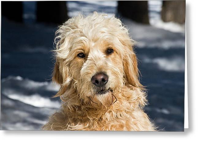 Portrait Of A Goldendoodle Sitting Greeting Card by Zandria Muench Beraldo