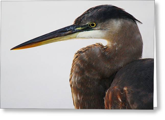 Portrait Of A Great Blue Heron - # 19 Greeting Card by Paulette Thomas