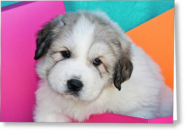 Portrait Of A Great Pyrenees Puppy Greeting Card by Zandria Muench Beraldo