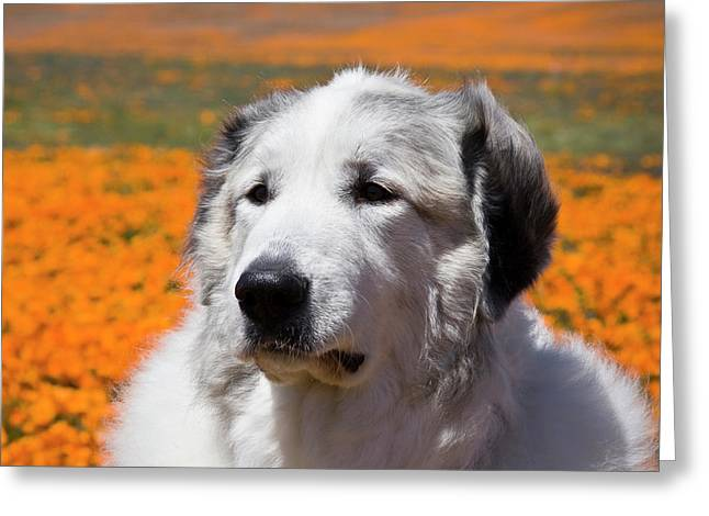 Portrait Of A Great Pyrenees Standing Greeting Card by Zandria Muench Beraldo