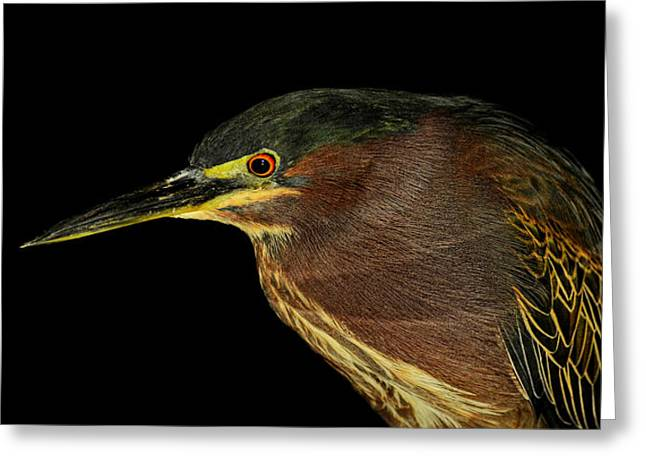 Portrait Of A Green Heron Greeting Card