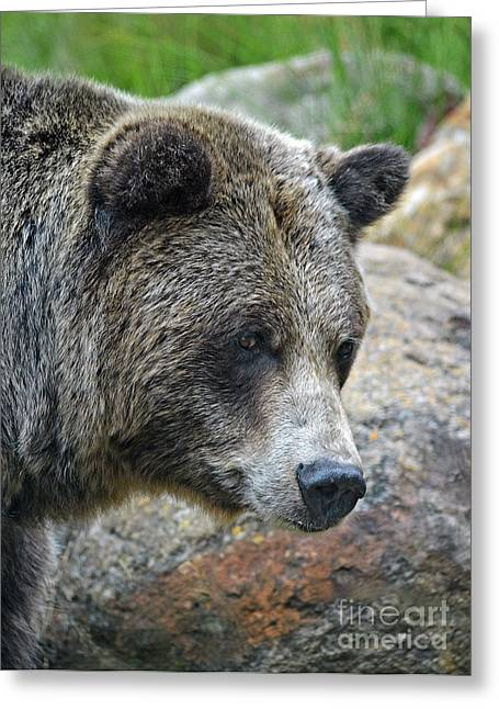 Portrait Of A Grizzly Bear Greeting Card by Jim Fitzpatrick