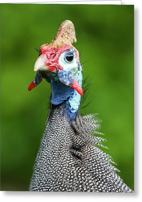 Portrait Of A Helmeted Guineafowl Greeting Card by Peter Chadwick