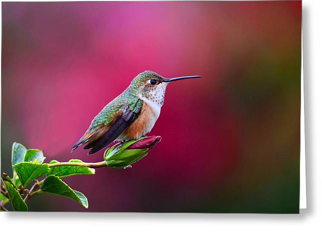 Portrait Of A Hummer Greeting Card by Lynn Bauer