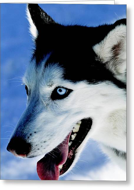 Portrait Of A Husky, Santa Fe, New Greeting Card by Julien Mcroberts