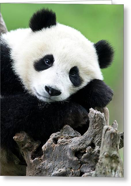 Portrait Of A Juvenile Giant Panda Greeting Card