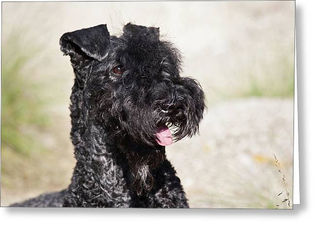 Portrait Of A Kerry Blue Terrier Greeting Card by Zandria Muench Beraldo