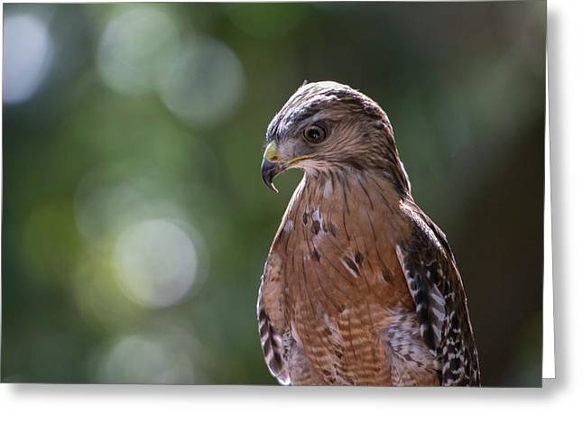 Portrait Of A Perched Hawk With Intense Greeting Card by Sheila Haddad